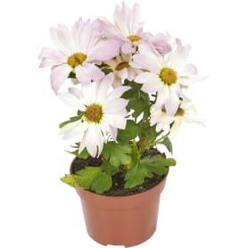 Хризантема Маргарита 10.5Х20 см