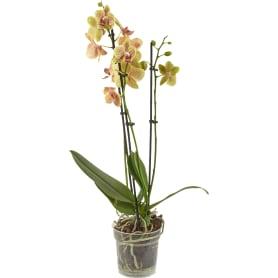 Орхидея Фаленопсис промо микс 3 стебля ø12 h60 см