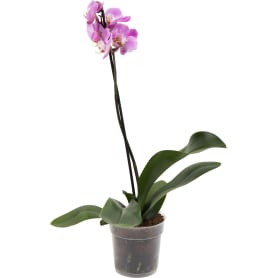Орхидея Фаленопсис промо ø12 h40 - 55 см