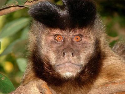 Robust Capuchin Monkey