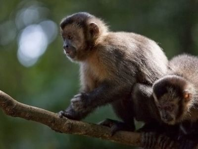 Robust Capuchin Monkeys