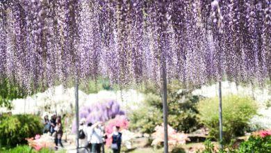 Photo of Enjoy wisteria flowers at Ashikaga Flower Park