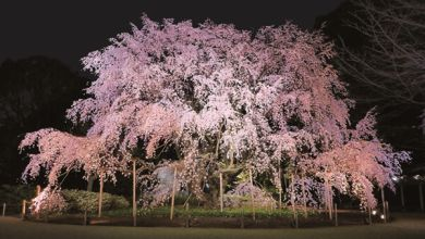 Photo of Beautiful shidare-zakura at Rikugien