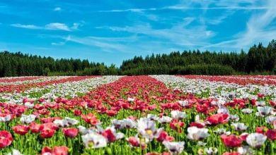 Photo of 5 điểm ngắm hoa anh túc đẹp ở Kanto (2021)