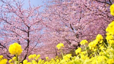 Photo of Du lịch Shizuoka: Lễ hộihoa anh đàoKawazu zakura 2020