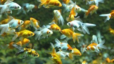Photo of Vụ kiện liên quan đến vi phạm bản quyền của bốt điện thoại cá vàng tại Nhật