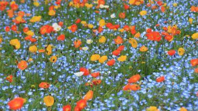Photo of 2 điểm ngắm hoa nemophila xanh biếc ở Kanagawa