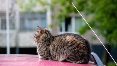 Photo of Chú mèo cứu người ở Nhật được bổ nhiệm làm cảnh sát trưởng 1 ngày