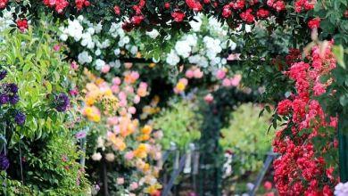 Photo of 3 vườn hồng nổi tiếng ở Chiba, Kanto (2021)