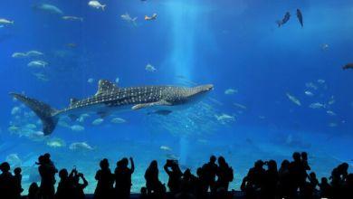 "Photo of Come see a large whale shark at Okinawa's ""Churaumi Aquarium"""