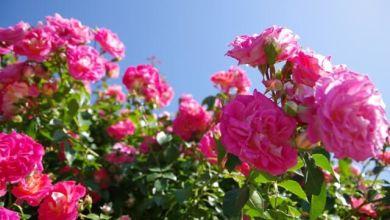Photo of Top 4 vườn hồng đẹp nổi tiếng tại Tokyo vào mùa thu