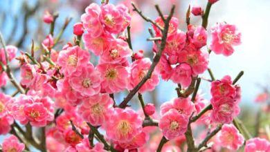 Photo of 5 điểm ngắm hoa mơ đẹp ở Kyoto 2020