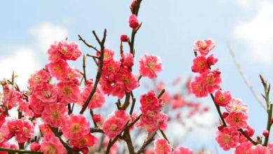 Photo of Ý nghĩa của hoa mơ trong văn hoá Nhật Bản