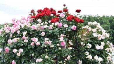 Photo of 9 vườn hồng đẹp ở Kanagawa, Kanto 2021