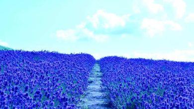 Photo of Thành phố hoa oải hương Furano, Hokkaido và 10 điểm du lịch gợi ý