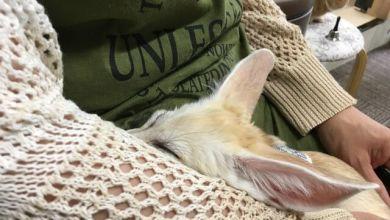Photo of Little Fairy – quán cà phê thú cưng có Cáo sa mạc