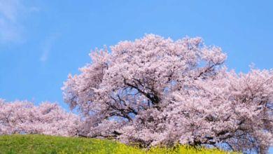 Photo of Hanami 2020: Top 7 điểm ngắm hoa anh đào đẹp nhất ở Kanagawa