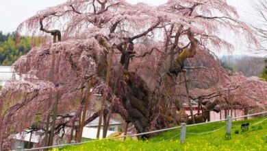 Photo of 3 cây hoa anh đào cổ nhất Nhật Bản