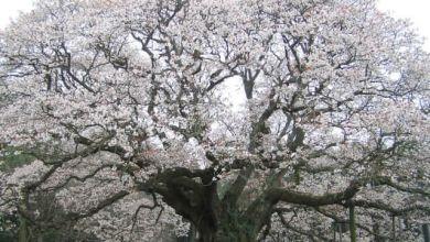 Photo of Yoshitaka no Ozakura – cây anh đào hơn 300 tuổi tại Chiba