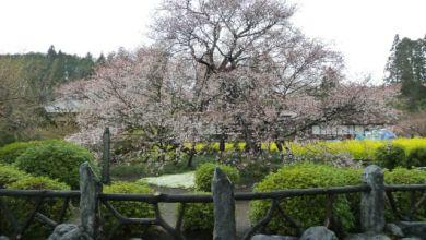 Photo of Kariyado no Gebazakura – cây anh đào gần 1000 tuổi tại Shizuoka