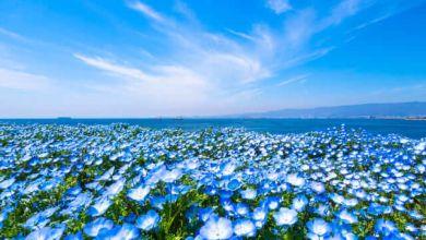 Photo of Ý nghĩa của hoa nemophila trong văn hoá Nhật Bản