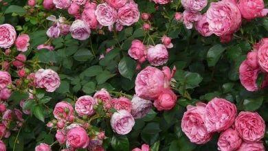 Photo of 5 vườn hồng đẹp ở Saitama – Tochigi – Gunma (2021)