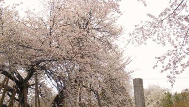 Photo of Hanami 2020: Ishitokaba Zakura – cây anh đào 800 tuổi ở Saitama