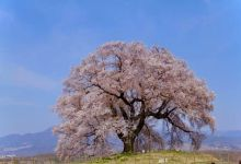 Photo of Wanizuka no Sakura – cây anh đào hơn 300 tuổi ở Yamanashi