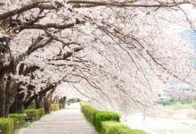 Photo of Hanami 2020: Top 10 điểm ngắm hoa anh đào đẹp nhất Tokyo