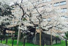 Photo of Ishiwari Zakura – cây anh đào 360 năm tuổi ở Iwate
