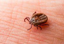 Photo of Virus có khả năng gây chết người từ bọ ve có trên mèo tại Nhật