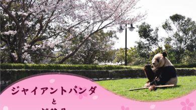 Photo of Cùng gấu trúc ngắm hoa anh đào ở Adventure World, Wakayama