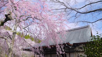 Photo of Trải nghiệm du lịch mùa xuân tại Kyoto
