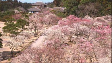 Photo of Cảm nhận mùa xuân qua lễ hội hoa mơ Mito với lịch sử hơn 120 năm