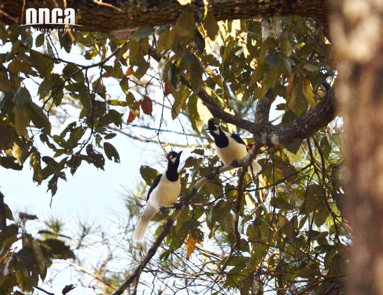 Onca Explorations Birdwatching in Sierra Madre Mazatlan Mexico undefined