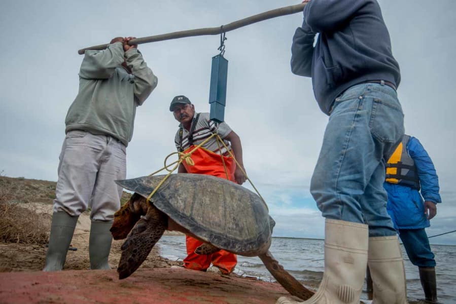 RED Travel Mexico Gray Whale and Sea Turtle Research Camp  La Paz Mexico Sea turtle trip