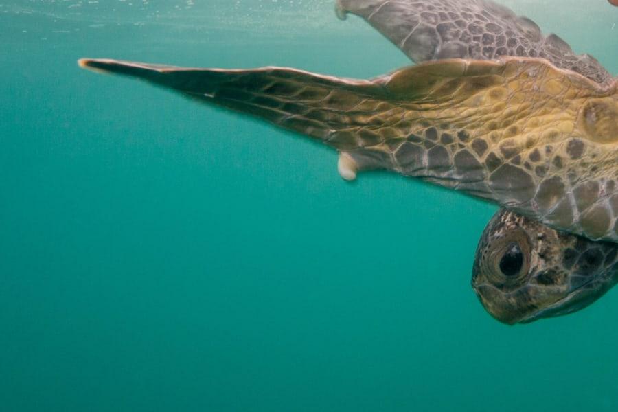RED Travel Mexico Gray Whale and Sea Turtle Research Camp  La Paz Mexico Sea turtle swimming