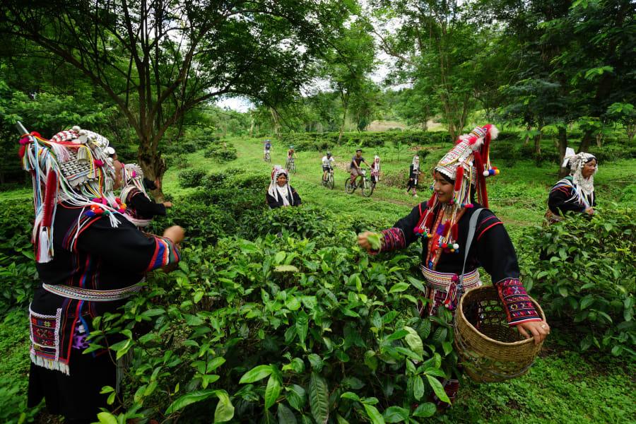 Lisu Lodge Lisu Lodge and Khum Lanna Trekking Chiang Mai Thailand Lisu Tea Plantation