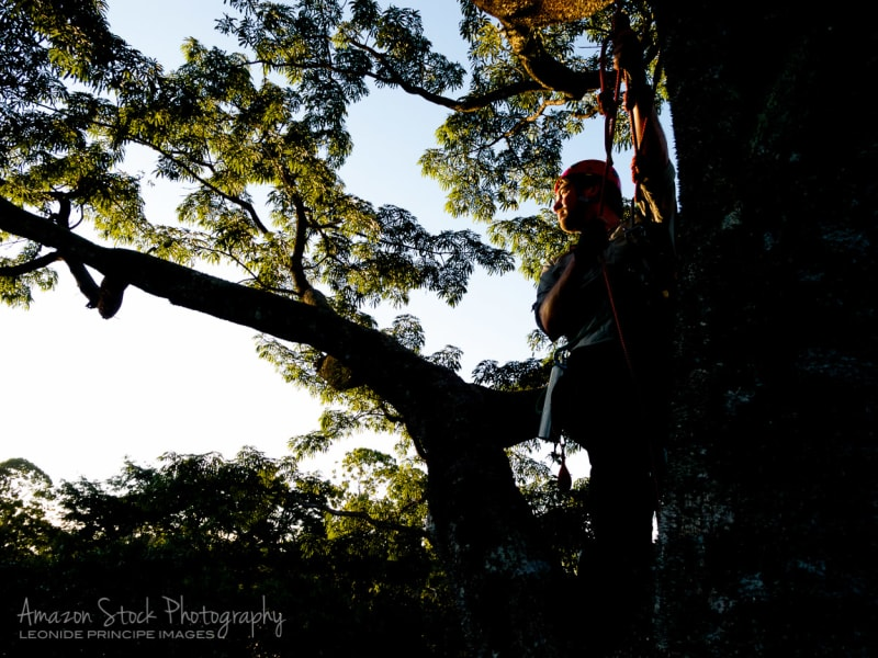 Tropical Tree Climbing Amazon Rainforest Brazil null
