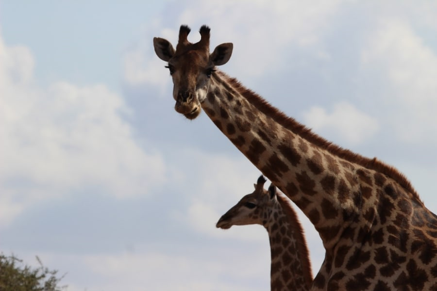 Transfrontier Parks Destinations Best of Limpopo: Traditions, Nature and Safari Adventure Limpopo South Africa Giraffes at Mtomeni