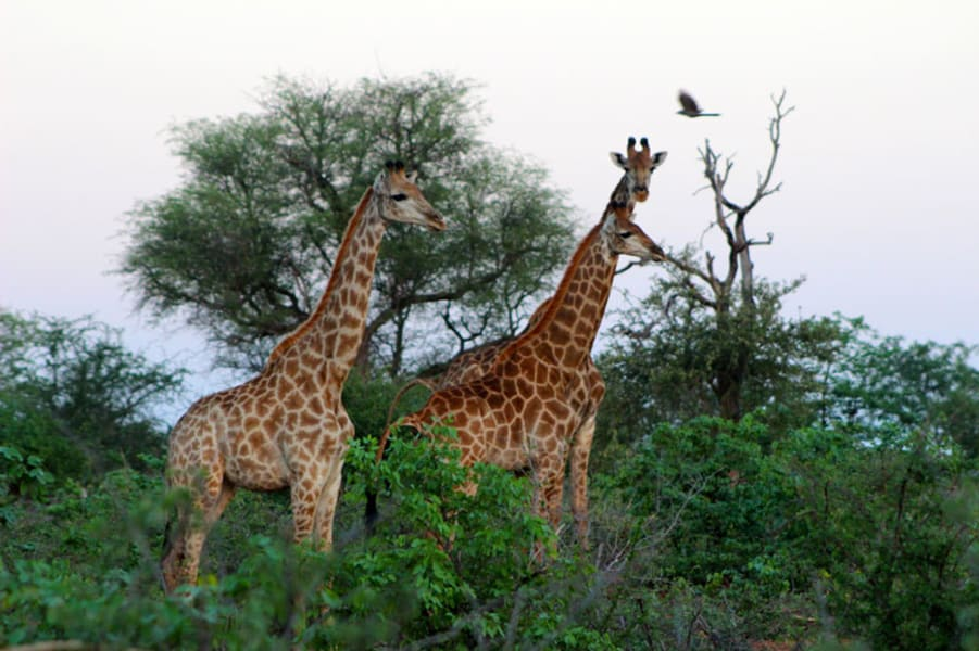 Transfrontier Parks Destinations Best of Limpopo: Traditions, Nature and Safari Adventure Limpopo South Africa Explore Kruger National Park