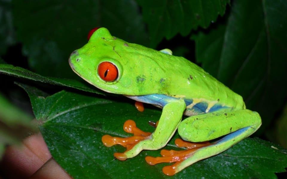 Matagalpa Tours La Canavalia Farm, La Sombra Ecolodge and Peñas Blancas Matagalpa Nicaragua Frog