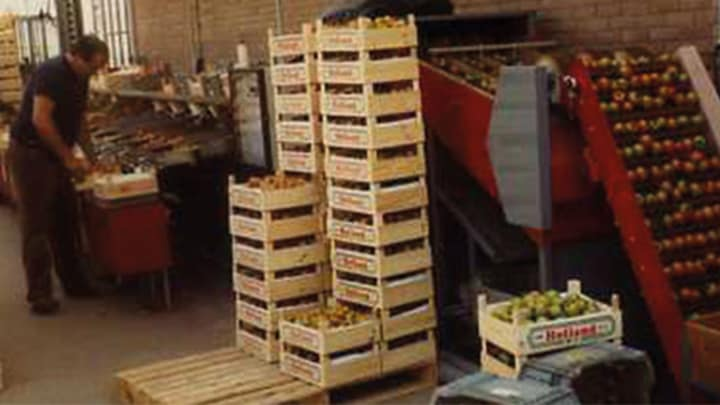 Jos Looije specialises in tomatoes
