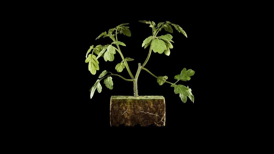 honingtomaten-plant