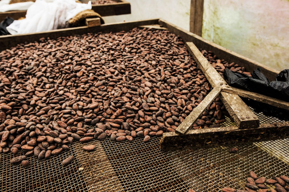 The fermentation of cocoa beans