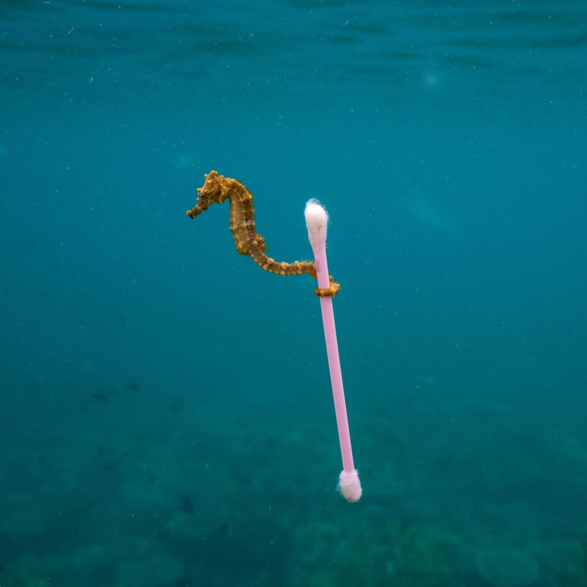 Justin Hofman, Seahorse with cotton bud