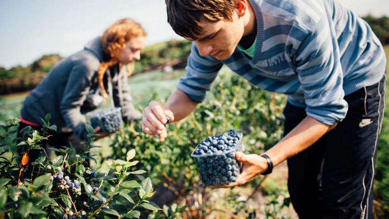 Locally picked blueberries in Purbeck