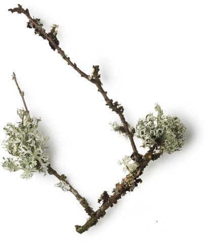 Ramo di Muschio Quercino (Evernia Prunastri)