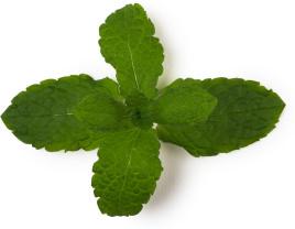 ingrédient lush - menthe