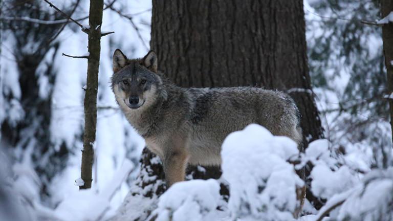 Romania wolf